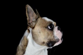 Hundefotografie vor schwarzem Hintergrund - Französische Bulldogge Kopf