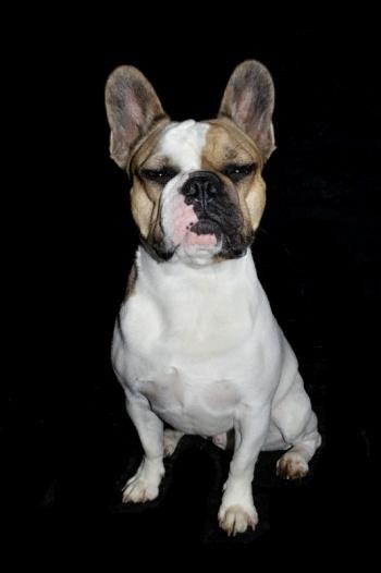 Hundefotografie vor schwarzem Hintergrund - Französische Bulldogge