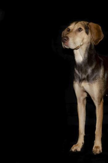Hundefotografie vor schwarzem Hintergrund - rechts stehender Hund