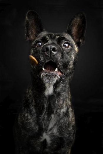 Hundefotografie - Schnappschuss - Leckerchen fangen - Französische Bulldogge / Schäferhund